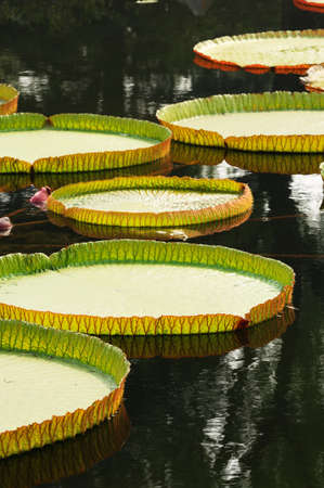 nervation: The many big lotus leaves on lake.