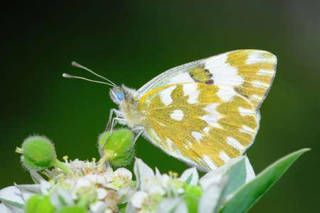 fleck: Una mariposa se alimentan de la flor de aislamiento