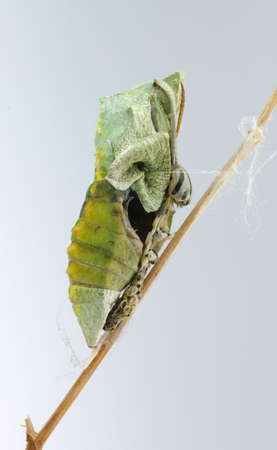 pupae: A pupae hanging from a twig