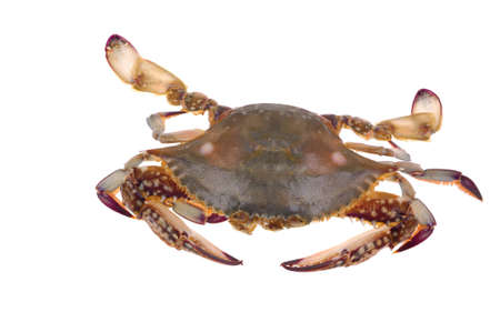 hydrobiology: A big crab isolated on white background  Stock Photo