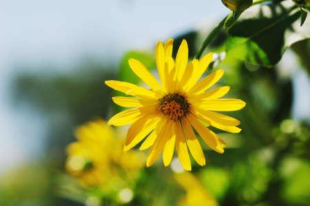 Yellow chrysanthemum in the summer time photo