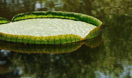nervation: The big lotus leaf on water