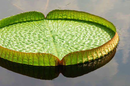 nervation: a big lotus leaf on water Stock Photo