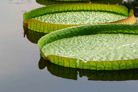 nervation: the big lotus leaf on water