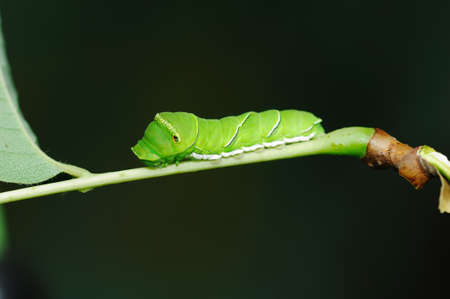 insecta: The swallowtail larva on branch in black background.