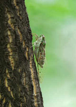bole: Side view of a cicada singing on bole