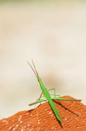 likable: The little green grasshopper stay on the red stone Stock Photo