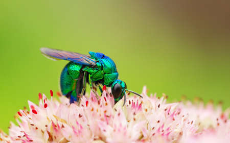 luster: The close-up shooting of the small bee with metal luster on flowers.  Stock Photo