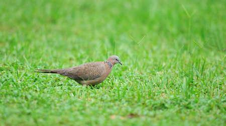 grassplot: The culver looking for food in grassplot.
