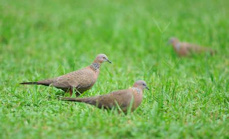 grassplot: Some culvers take a walk in grassplot. Stock Photo