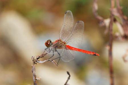 drago alato: Red dragonfly seduta sul bordo della foglia secca. Archivio Fotografico