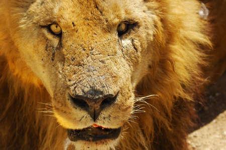 A lions portrait in safari park. photo
