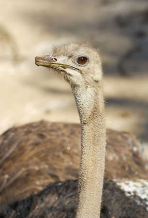 struts: Portrait of an endearing ostrich on a light background
