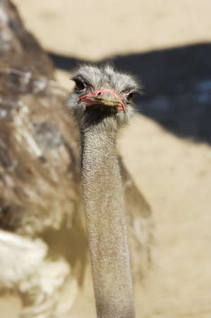 endearing: Portrait of an endearing ostrich on a light background