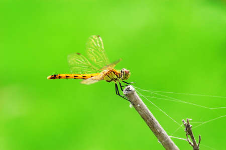 A dragonfly resting on a branch in bright green background photo