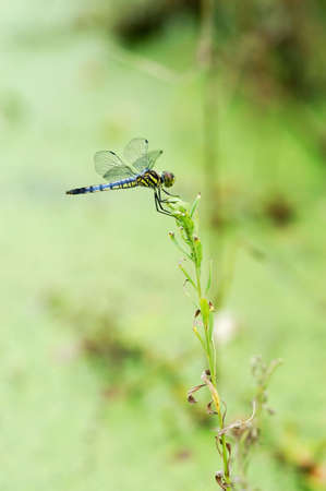 Dragonfly resting on a lotus branch by a pond photo
