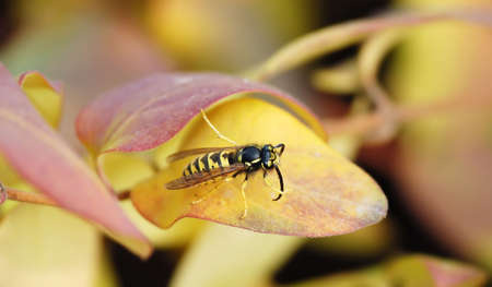 laborious: A wasp on yellow leaf in green background Stock Photo