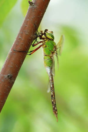 A dragonfly resting on a branch,on bright background photo