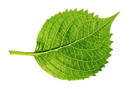 nervation: a green leaf on white