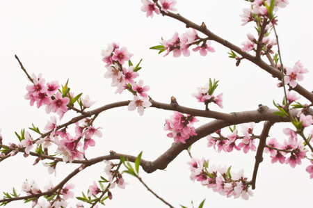 peach blossom: flor de durazno en el fondo blanco