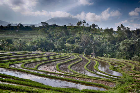 Rice cultivation in Bali, Indonesia. Mountain rice terracing is common in parts of the Asia-Pacific. Symbol of indigenous cultures, traditional practices and ecology. 写真素材