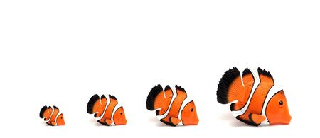 fishes: family of toy clown fishes