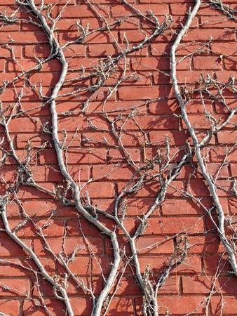 dode bladeren: bakstenen muur met wijnstokken op het in de winter Stockfoto