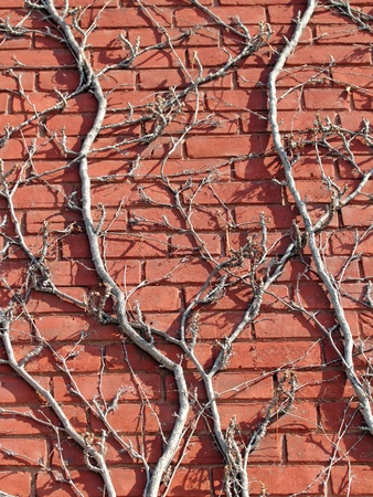 brick wall with vines on it at winter