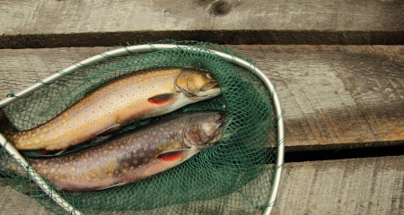speckled wood: two fresh speckle trouts in a little fishing net