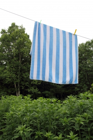 clothesline with a stripped towel drying over a green forest and white sky Stock Photo - 14395881