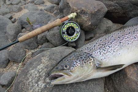 closeup of an atlantic salmon and a fly fishing rod photo
