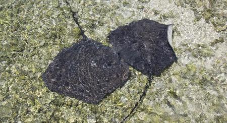 stingrays: two stingrays swimming in shallow water
