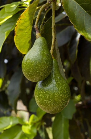 closeup of two avocados in a tree photo