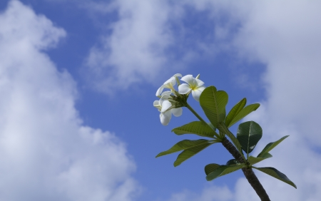 polynesia: closeup of tiare flowers over blue sky Stock Photo