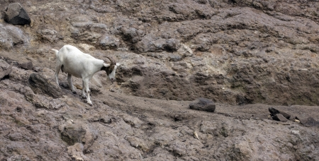 mountain goat walking on the cliff Stock Photo - 16256083