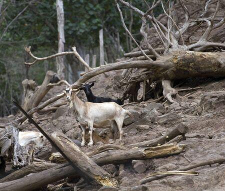 mountain goats: capre di montagna su un habitat tipico