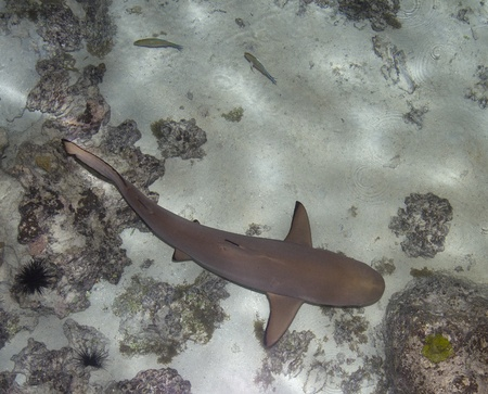 blacktip shark swimming in shallow water photo