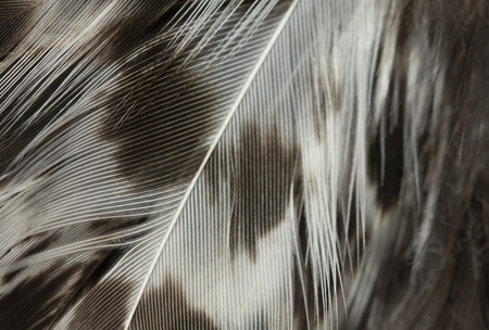 macro image of black and white feathers Stock Photo - 16942402