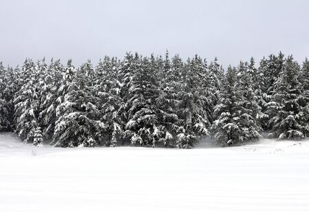frozen trees: winter landscape of forest and frozen lake