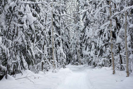 little trail in a forest with trees covered with snow Stock Photo - 17102766