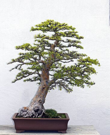 very old bonsai tree on a table photo
