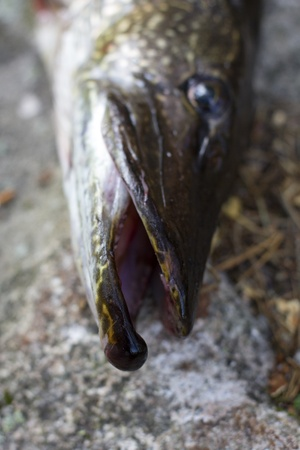 northern pike: closeup of a northern pike head on a table Stock Photo