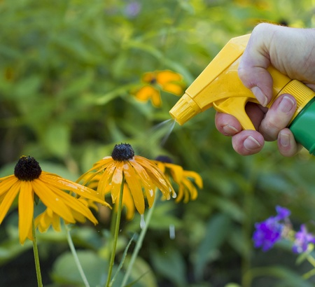 hand spraying yellow flowers with herbicide