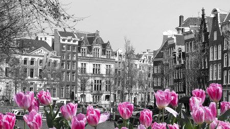 black and white image of an amsterdam canal with pink tulips