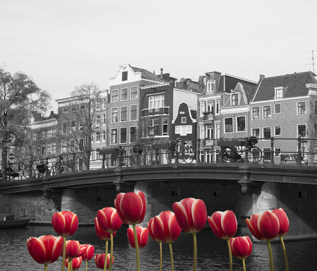 black and white image of an amsterdam canal with red tulips