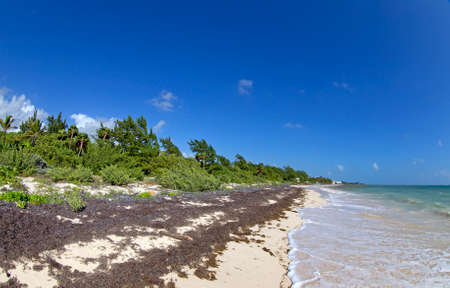 weeds: Sea weeds problem in the caribbean