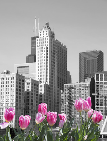 american midwest: Black and white Chicago with pink tulips Stock Photo