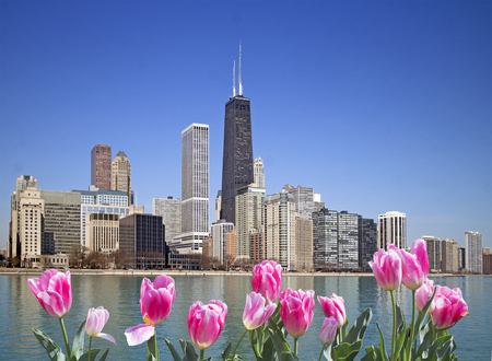 Chicago city view with pink tulips on front