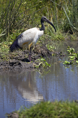 Black beak stork in a pond, east Africa