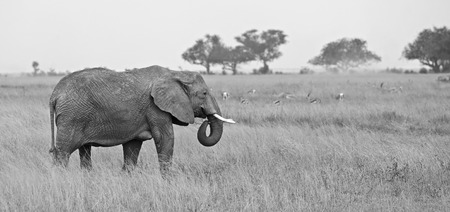 Black and white elephant in Serengeti national park, Africa